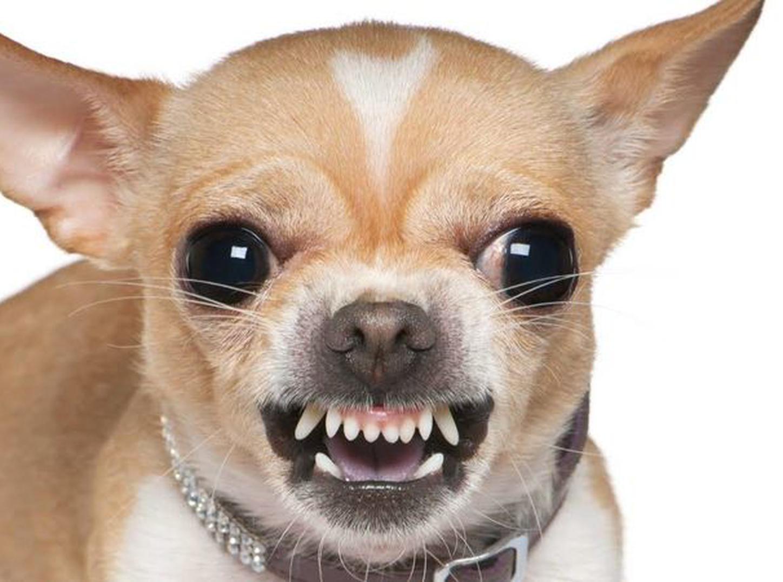 Segun la ciencia los perros chihuahua serian más agresivos que los pitbulls