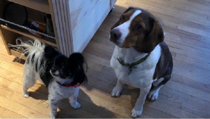 Dos perros aprendieron a llamar al 911 y volvieron locos a los operadores