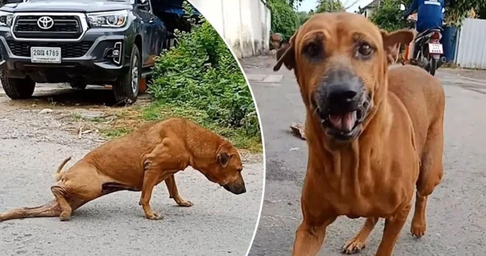 Mirá el Perro que se hace el invalido para recibir comida