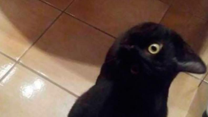 ¿Gato o cuervo?, el nuevo desafío
